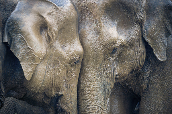 Image result for Elephant crying