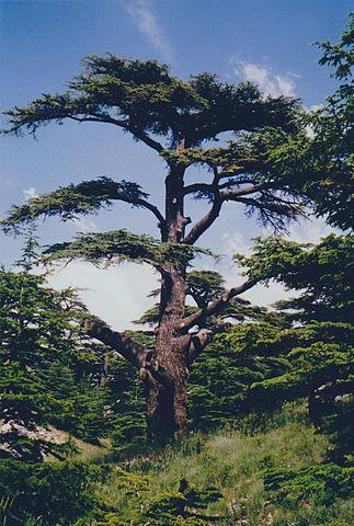 TNA47 - Mills - Cedar of Lebanon